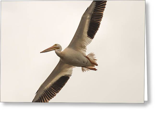 Pelican In Flight Greeting Card by Paul Freidlund