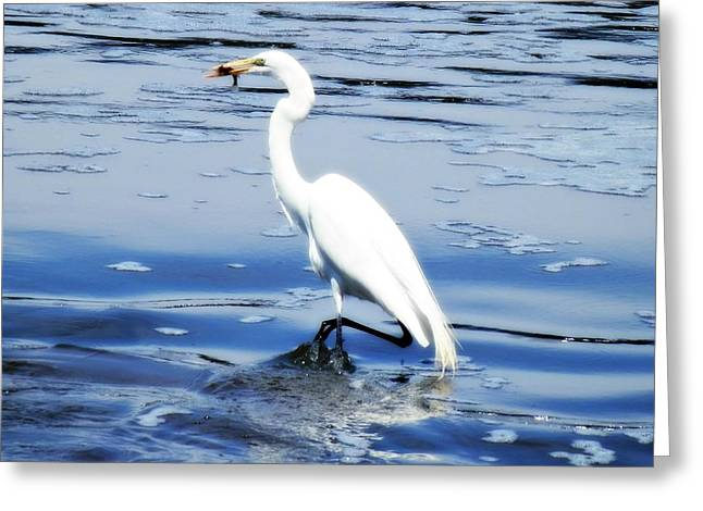Pelican In It's Glory Greeting Card