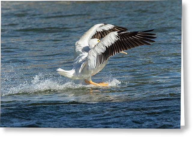 Pelican Landing 2016 Greeting Card