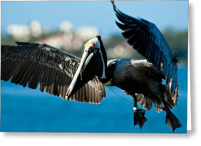 Greeting Card featuring the photograph Pelican Landing by Louis Dallara