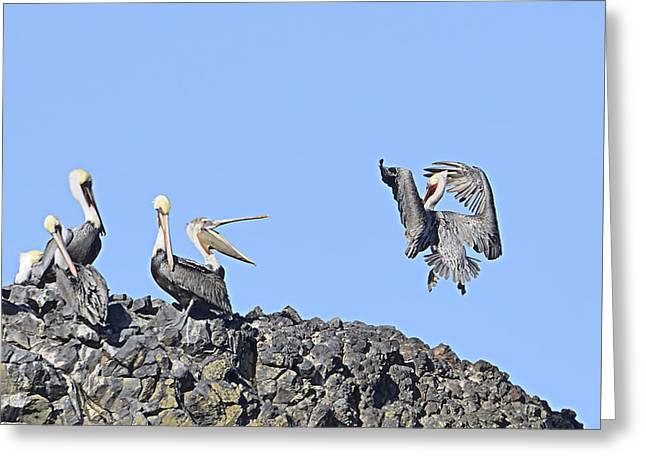 Pelican Landing On A Rock Greeting Card by Marv Vandehey