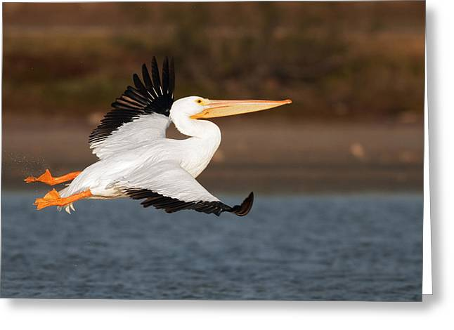 Flying White Pelicans Greeting Cards - Pelican lift off Greeting Card by Gary Langley