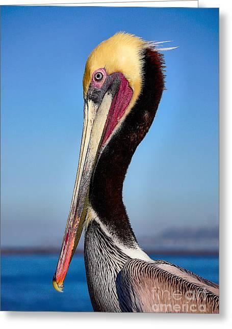 Pelican Looking Greeting Card
