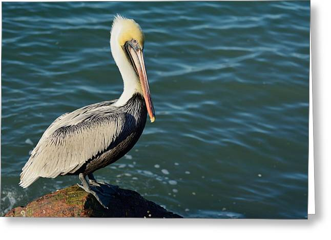 Greeting Card featuring the photograph Pelican On A Rock by Bradford Martin