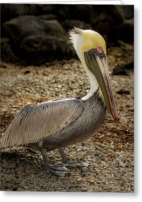 Pelican On The Rocks Greeting Card by Jean Noren