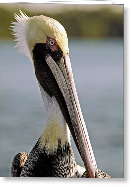 Greeting Card featuring the photograph Pelican Portrait by Sally Weigand