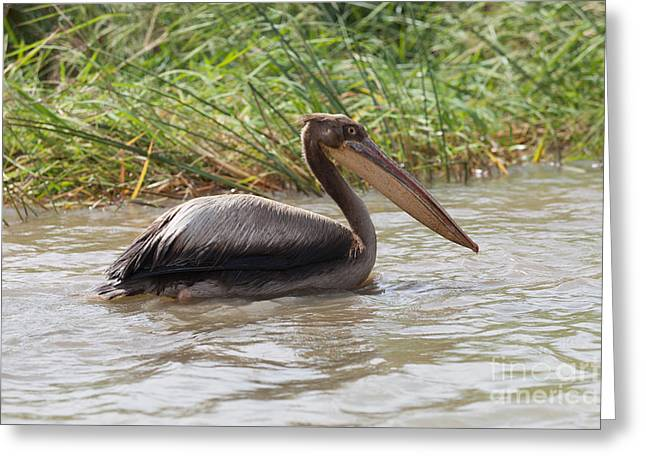 Pelican, Senegal Greeting Card by Massimo Lama