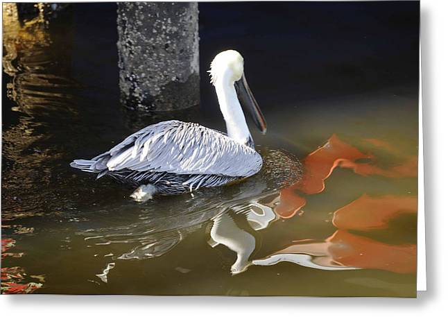 Pelican Swim Greeting Card