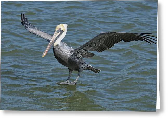 Greeting Card featuring the photograph Pelican Walks On Water by Bradford Martin