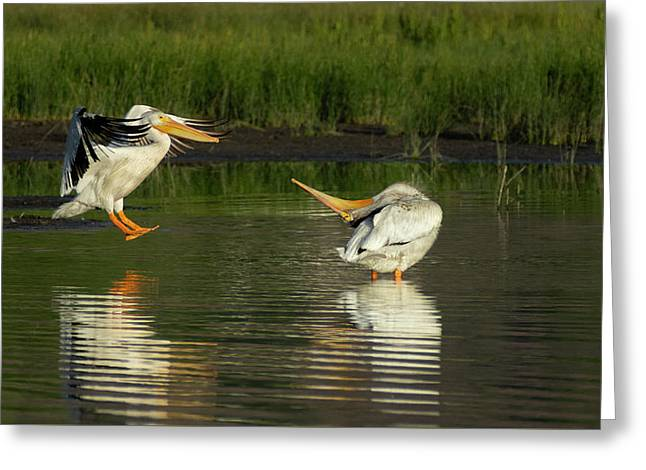 Pelicans 2 Greeting Card