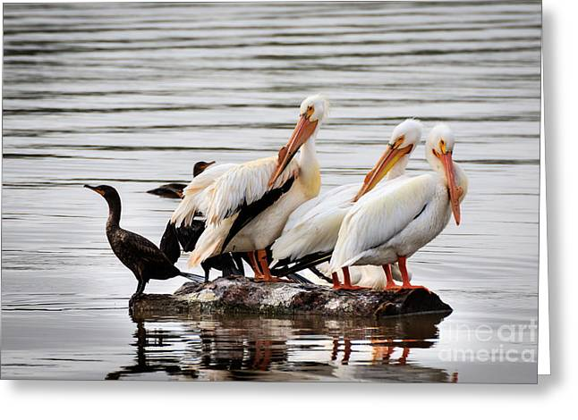 Pelicans And Cormorants Greeting Card