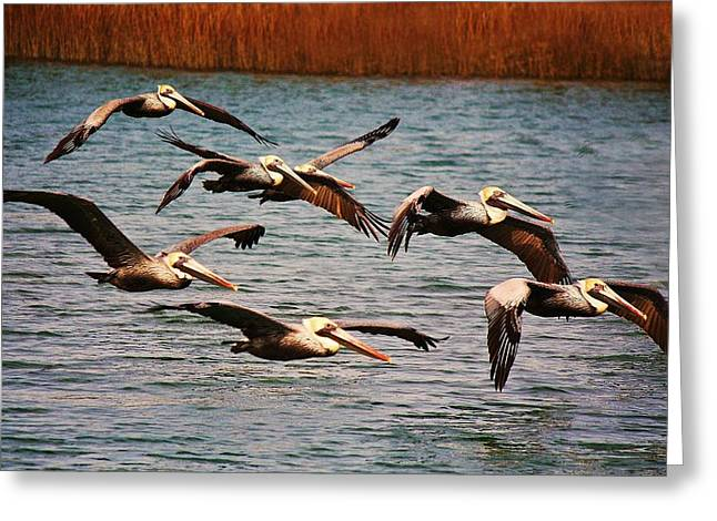 Pelicans Flying Through The Marsh Greeting Card by Paulette Thomas