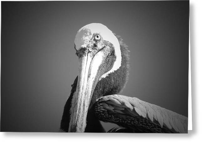 Pelican's Gaze Greeting Card by Megan Verzoni