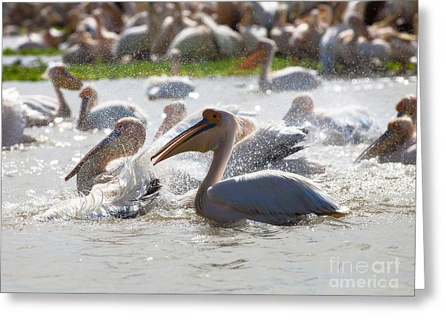 Pelicans Greeting Card by Massimo Lama