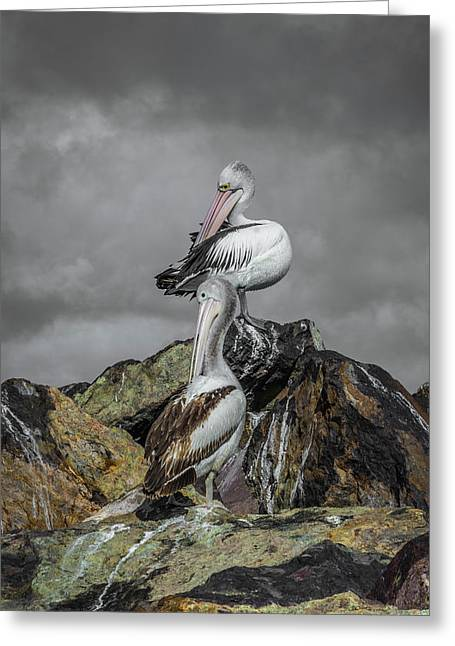 Pelicans On Rocks Greeting Card