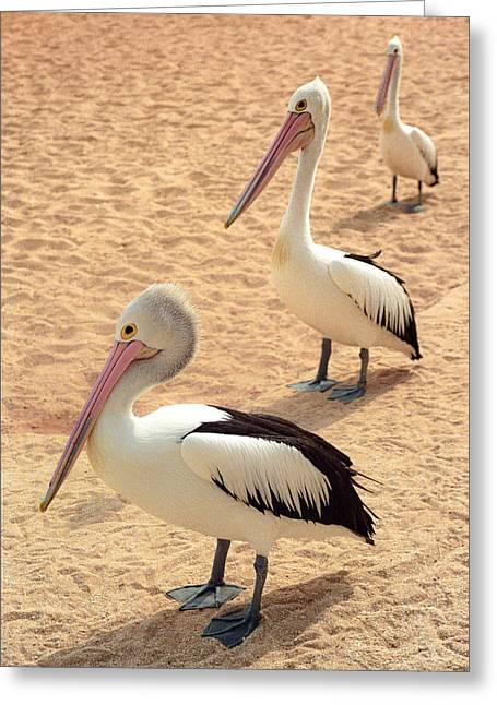 Greeting Card featuring the photograph Pelicans Seriously Chillin' by T Brian Jones