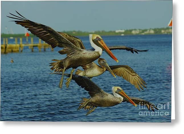 Pelicans Three Amigos Greeting Card