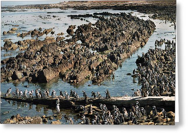 Penguins Of Robben Island Greeting Card by Terence Davis