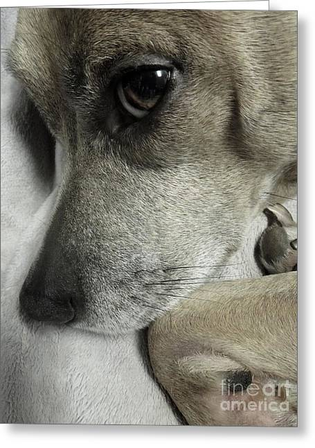 Pensive Pit Bull Greeting Card by Renee Trenholm