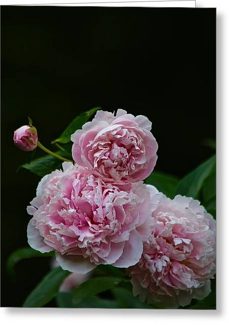 Peonies  Greeting Card by Gillis Cone