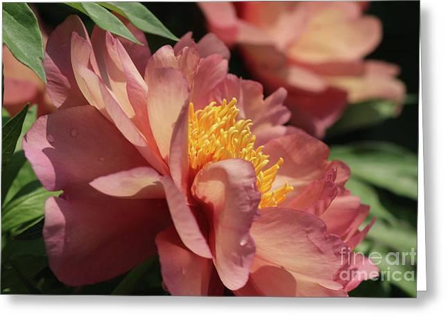 Peonies In Peach Greeting Card by Rachel Cohen
