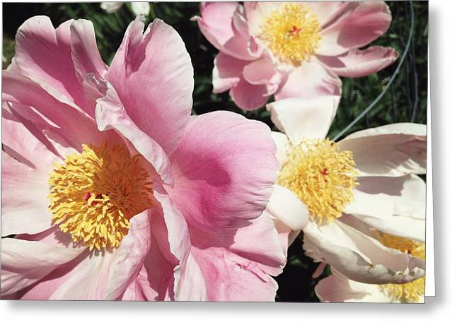 Greeting Card featuring the photograph Peonies37 by Olivier Calas