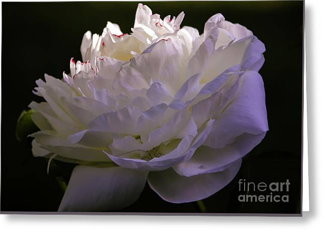 Peony At Eventide Greeting Card