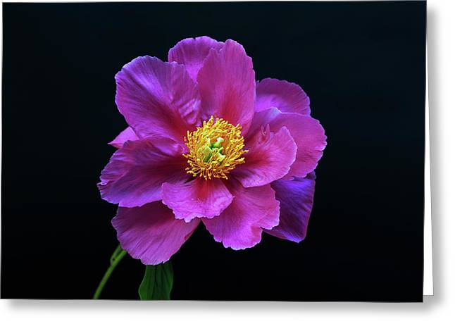 Peony - Beautiful Flowers And Decorative Foliage On The Right Is One Of The First Places Among The G Greeting Card