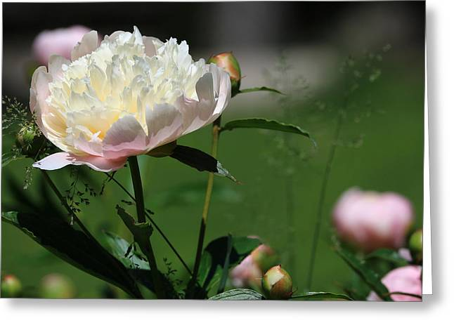 Peony Beauty Greeting Card