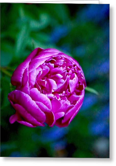 Peony Bloom Greeting Card by Gillis Cone