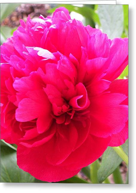 Peony Greeting Card by Cindy Gacha