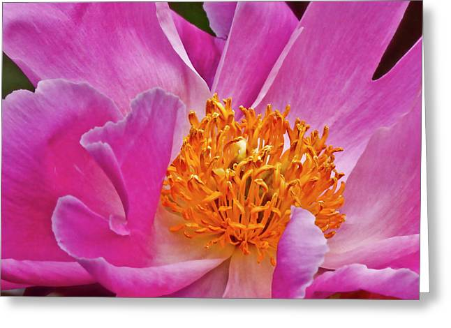 Pink Peony Garden Splendor Greeting Card by Carol F Austin