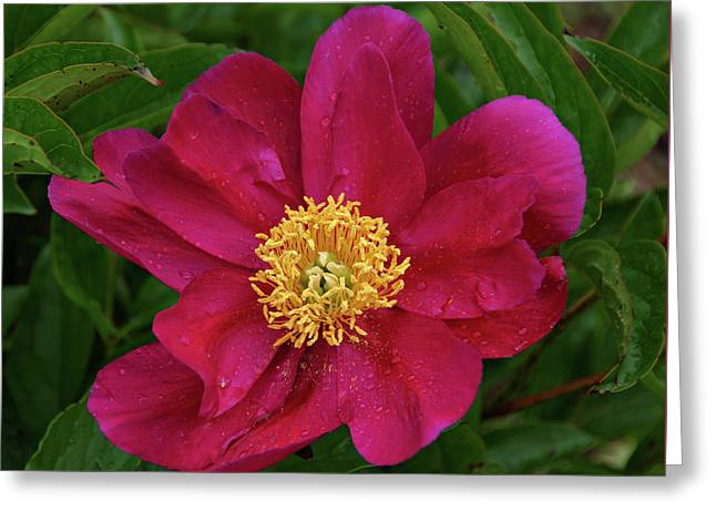 Greeting Card featuring the photograph Peony In Rain by Sandy Keeton