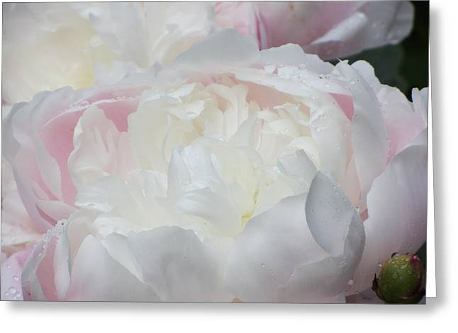 Greeting Card featuring the photograph Peony by Karen Shackles