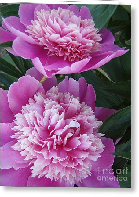 Greeting Card featuring the photograph Peony by Kristine Nora