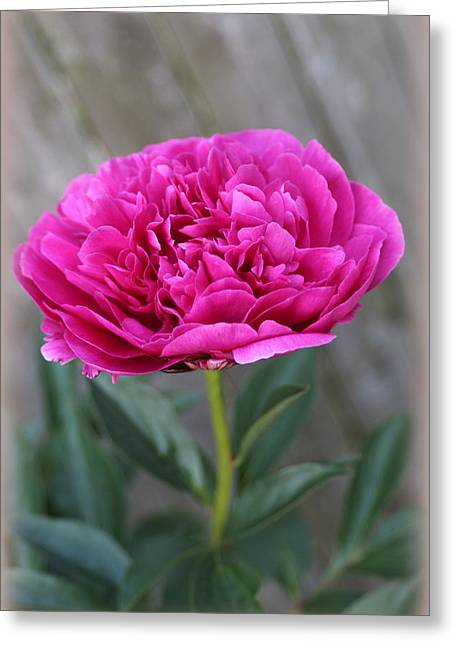 Peony Lovely In Magenta Greeting Card by Dora Sofia Caputo Photographic Art and Design