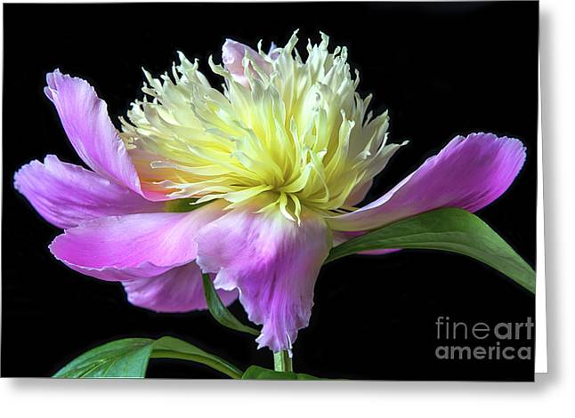 Peony On Black Greeting Card by Sharon McConnell