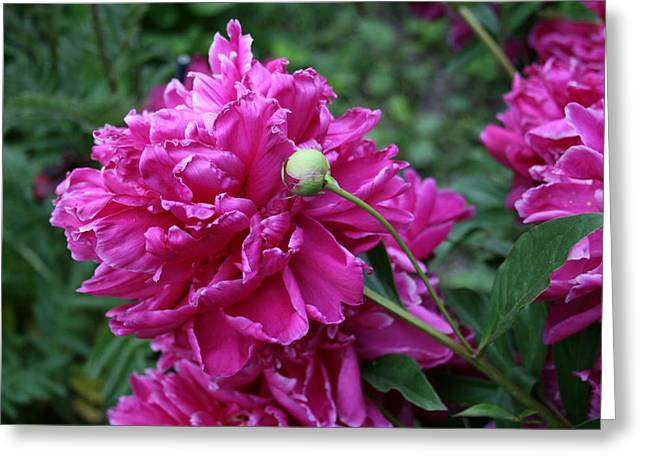 Peony Protege Greeting Card by Alan Rutherford