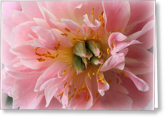 Peony Radiant In Pink Greeting Card by Dora Sofia Caputo Photographic Art and Design