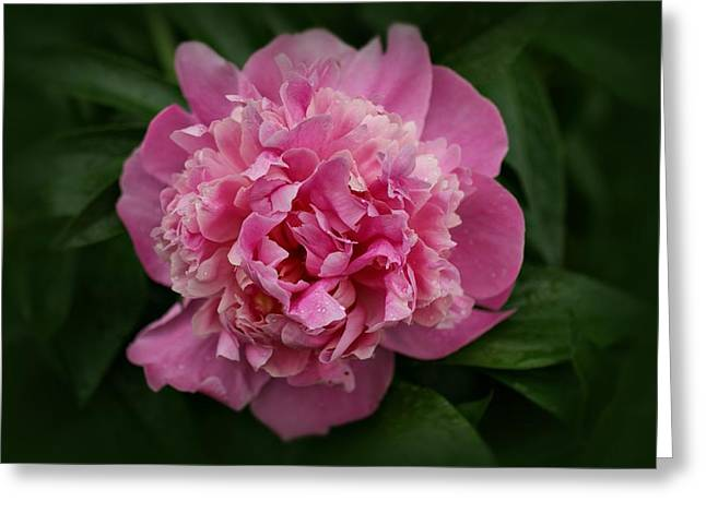 Sandy Keeton Photography Greeting Cards - Peony Greeting Card by Sandy Keeton