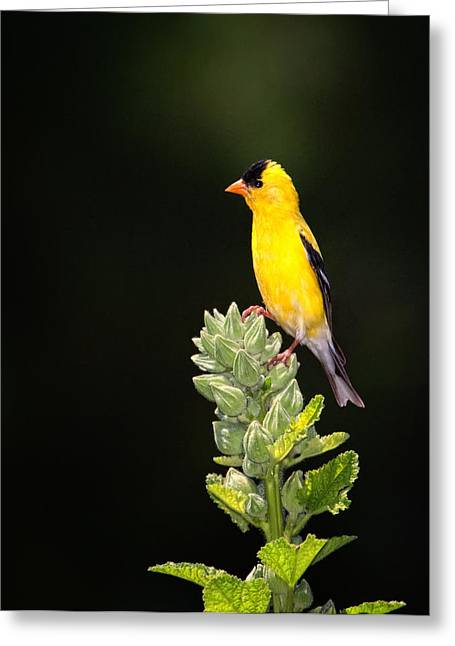 Perched American Goldfinch Greeting Card