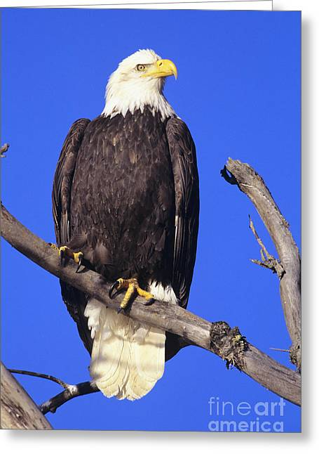 Animal Patriotic Art Greeting Cards - Perched Bald Eagle Greeting Card by John Hyde - Printscapes