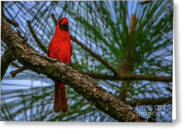 Perched Cardinal Greeting Card