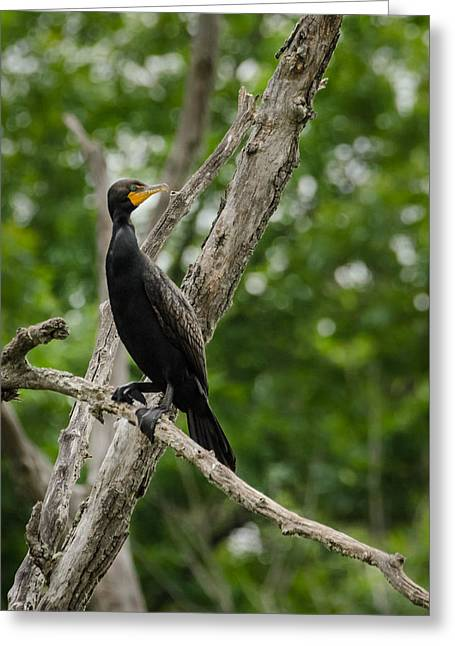 Perched Double-crested Cormorant Greeting Card
