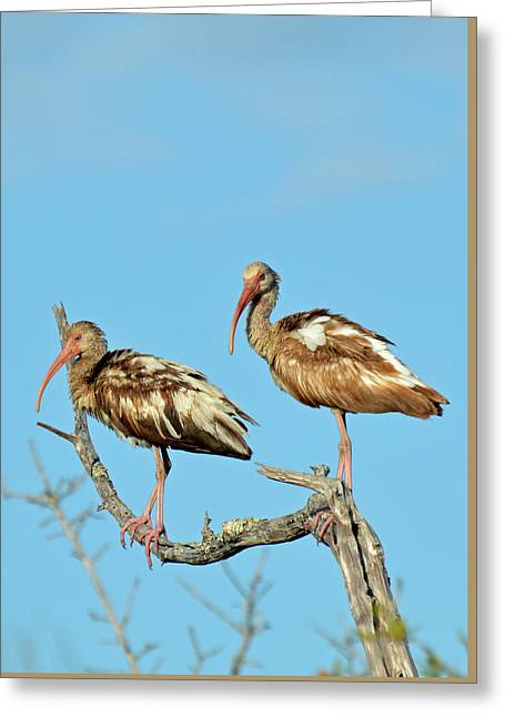 Perched White Ibises Greeting Card by Bruce Gourley
