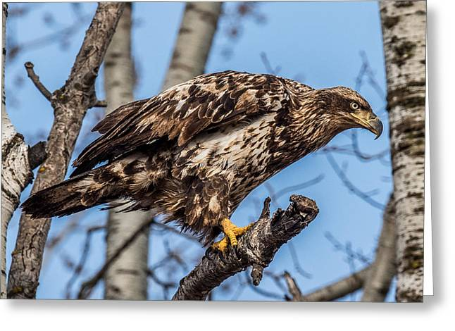 Perched Juvenile Bald Eagle Greeting Card by Paul Freidlund
