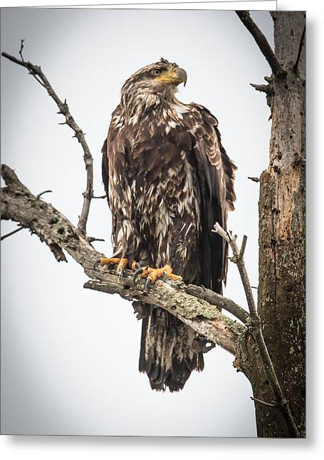 Perched Juvenile Eagle Greeting Card by Paul Freidlund
