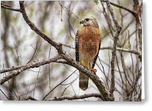 Perched Red Shouldered Hawk Greeting Card