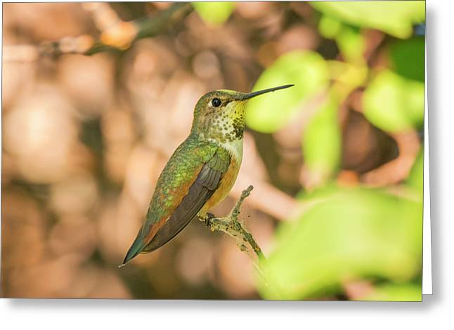 Perched Rufous Hummingbird Greeting Card