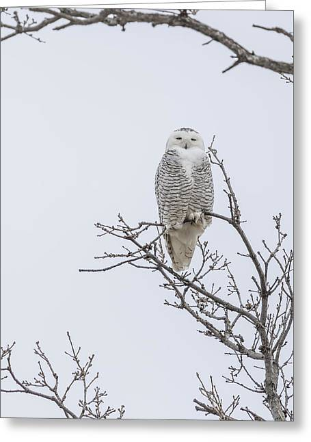 Perched Snowy Owl 2015-2 Greeting Card